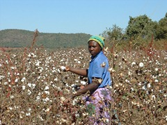 Zimbabwe Cotton Growing For denim