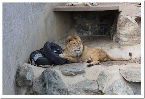 zoo jeans liion