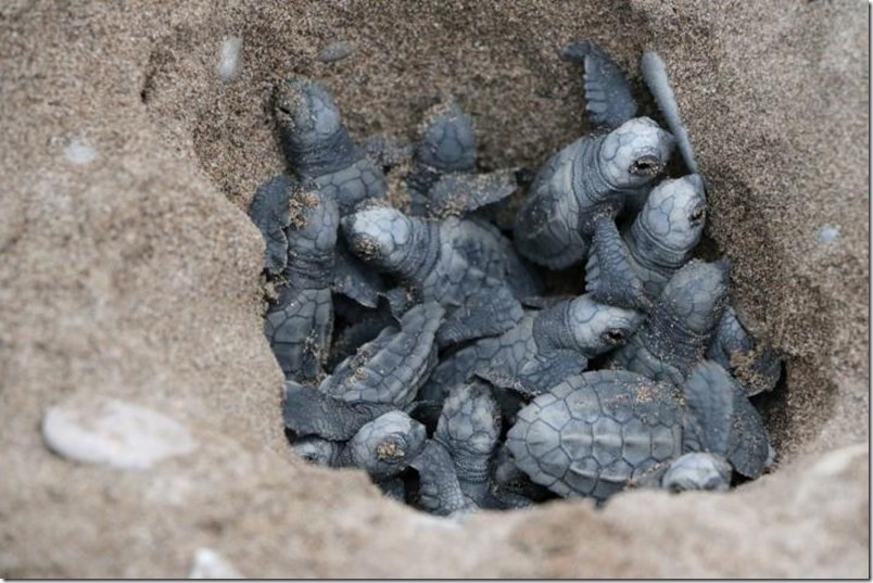 Indigo Turtles- Helping Baby Sea Turtles with their First Steps